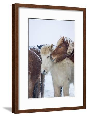 Horses outside during a Snowstorm.-Arctic-Images-Framed Photographic Print