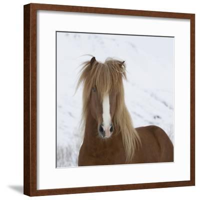 Icelandic Pony-Arctic-Images-Framed Photographic Print