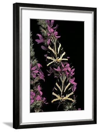 Euplagia Quadripunctaria (Jersey Tiger Moth)-Paul Starosta-Framed Photographic Print