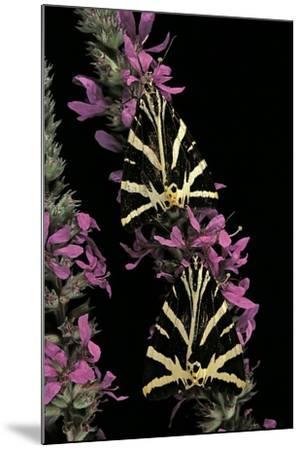 Euplagia Quadripunctaria (Jersey Tiger Moth)-Paul Starosta-Mounted Photographic Print