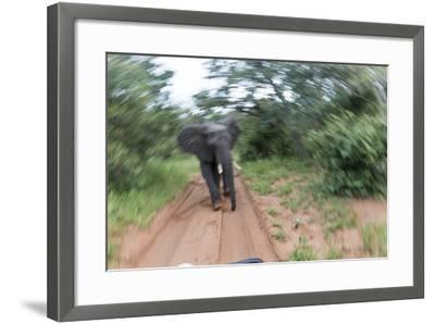 Charging African Elephant, Chobe National Park, Botswana-Paul Souders-Framed Photographic Print