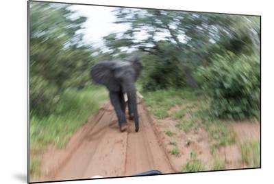 Charging African Elephant, Chobe National Park, Botswana-Paul Souders-Mounted Photographic Print