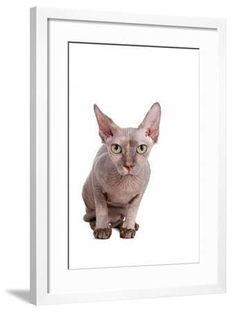 Sphinx Cat-Fabio Petroni-Framed Photographic Print