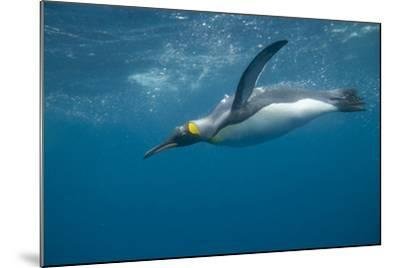 King Penguin Swimming-DLILLC-Mounted Photographic Print