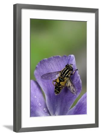 Helophilus Pendulus (Hoverfly, Sun Fly) - Cleaning Itself-Paul Starosta-Framed Photographic Print