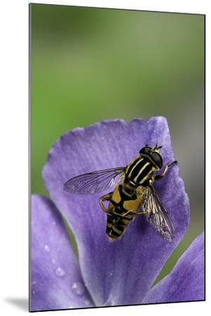 Helophilus Pendulus (Hoverfly, Sun Fly) - Cleaning Itself-Paul Starosta-Mounted Photographic Print