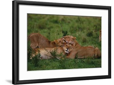 Lions Lounging in Grass-DLILLC-Framed Photographic Print