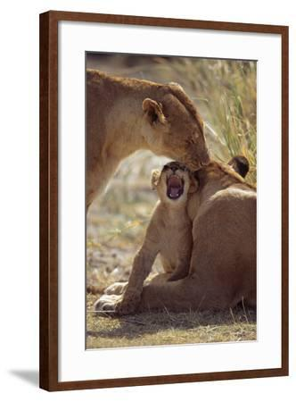 Lion Cub with Adults-DLILLC-Framed Photographic Print