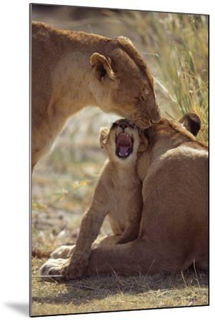 Lion Cub with Adults-DLILLC-Mounted Photographic Print