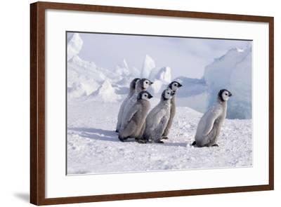 Young Emperor Penguins-DLILLC-Framed Photographic Print