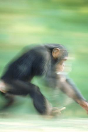 Running Chimp-DLILLC-Framed Photographic Print