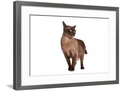 Burmese Cat-Fabio Petroni-Framed Photographic Print