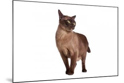 Burmese Cat-Fabio Petroni-Mounted Photographic Print