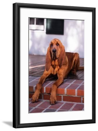 Bloodhound Resting on Porch-DLILLC-Framed Photographic Print