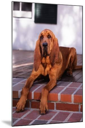 Bloodhound Resting on Porch-DLILLC-Mounted Photographic Print