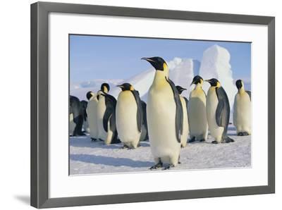 Group of Penguins-DLILLC-Framed Photographic Print
