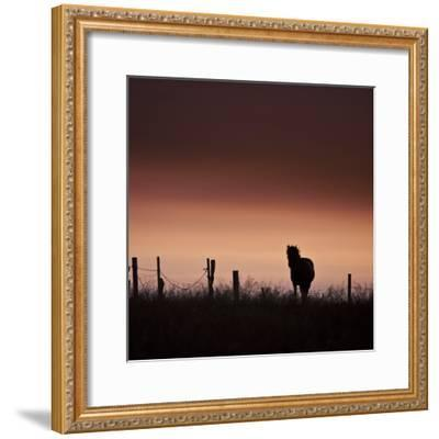 Icelandic Horse in Pasture at Sunset-Arctic-Images-Framed Photographic Print