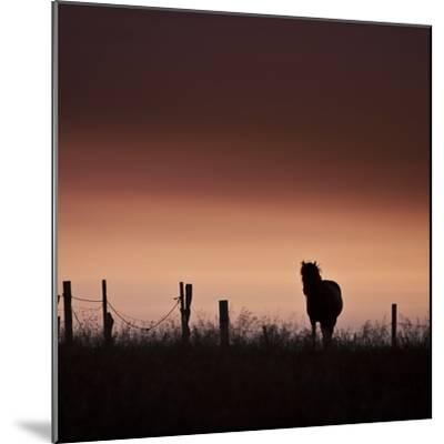 Icelandic Horse in Pasture at Sunset-Arctic-Images-Mounted Photographic Print