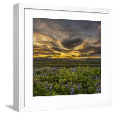 Sunset and Lupines, Myrdalssandur, South Coast, Iceland-Arctic-Images-Framed Photographic Print
