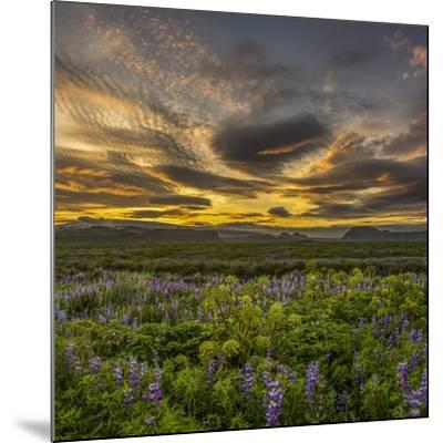 Sunset and Lupines, Myrdalssandur, South Coast, Iceland-Arctic-Images-Mounted Photographic Print