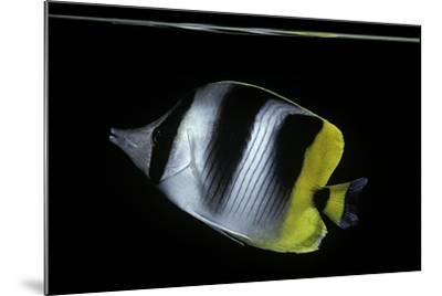 Chaetodon Ulietensis (Pacific Double-Saddle Butterflyfish)-Paul Starosta-Mounted Photographic Print