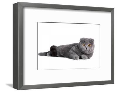 Scottish Fold Cat-Fabio Petroni-Framed Photographic Print