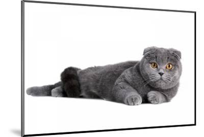 Scottish Fold Cat-Fabio Petroni-Mounted Photographic Print