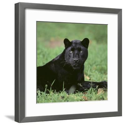 Black Panther Sitting in Grass-DLILLC-Framed Photographic Print