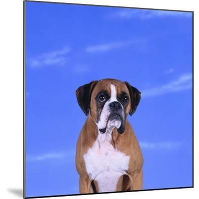 Boxer-DLILLC-Mounted Photographic Print
