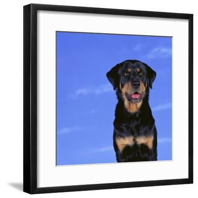 Rottweiler-DLILLC-Framed Photographic Print