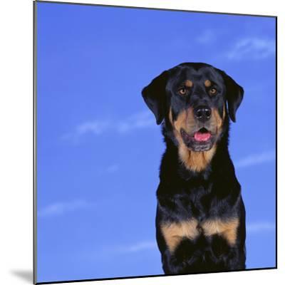 Rottweiler-DLILLC-Mounted Photographic Print