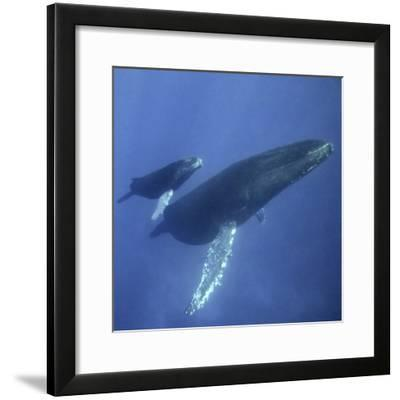 Humpback Mother and Calf-DLILLC-Framed Photographic Print