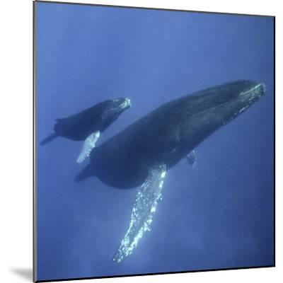 Humpback Mother and Calf-DLILLC-Mounted Photographic Print
