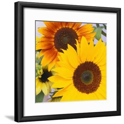 Sunflowers-DLILLC-Framed Photographic Print