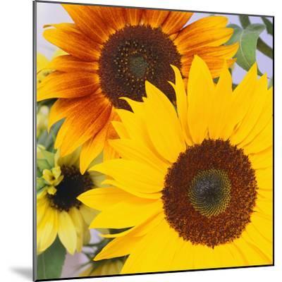 Sunflowers-DLILLC-Mounted Photographic Print