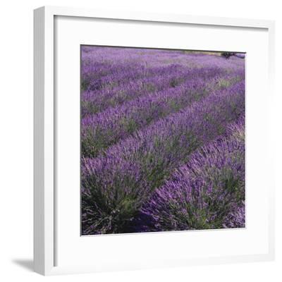 Lavender Fields-DLILLC-Framed Photographic Print