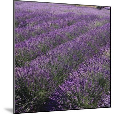 Lavender Fields-DLILLC-Mounted Photographic Print