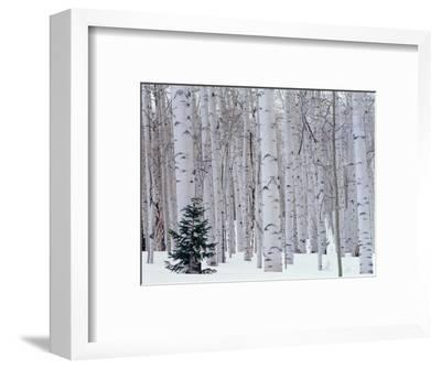 Aspen and Douglas Fir, Manti-Lasal National Forest, La Sal Mountains, Utah, USA-Scott T^ Smith-Framed Photographic Print