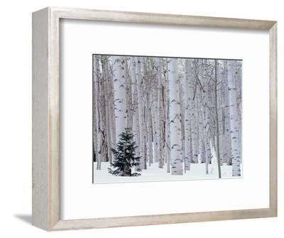 Aspen and Douglas Fir, Manti-Lasal National Forest, La Sal Mountains, Utah, USA-Scott T^ Smith-Framed Photographic Print