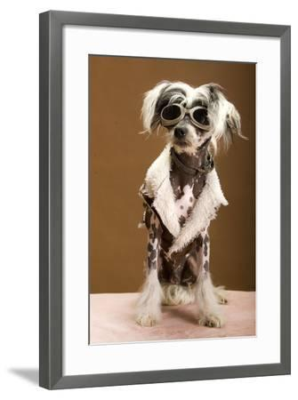 Sexy Chinese Crested Hairless Sporting A Cool Coat And Glasses- Candicecunningham-Framed Photographic Print
