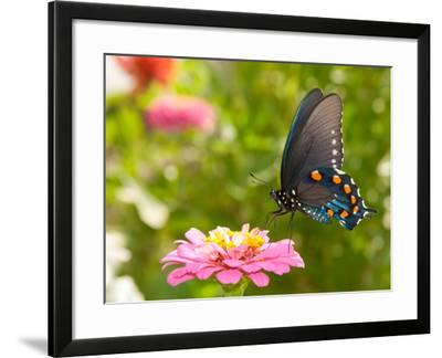Green Swallowtail Butterfly Feeding On A Pink Zinnia In Sunny Summer Garden-Sari ONeal-Framed Photographic Print