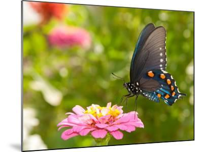Green Swallowtail Butterfly Feeding On A Pink Zinnia In Sunny Summer Garden-Sari ONeal-Mounted Photographic Print