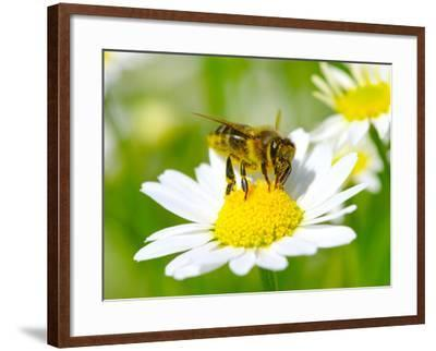 Bee On The Chamomile Flower-Ale-ks-Framed Photographic Print