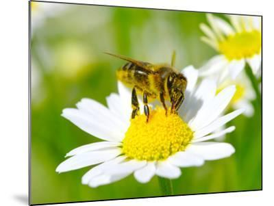Bee On The Chamomile Flower-Ale-ks-Mounted Photographic Print
