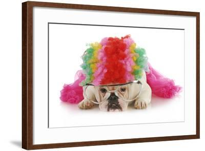Silly Dog - English Bulldog Dressed Up Like A Clown On White Background-Willee Cole-Framed Photographic Print