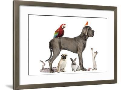 Group Of Pets - Dog, Cat, Bird, Reptile, Rabbit, Isolated On White-Life on White-Framed Photographic Print