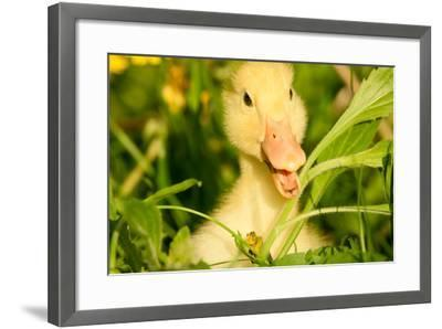 Small Yellow Duckling Outdoor On Green Grass-goinyk-Framed Photographic Print