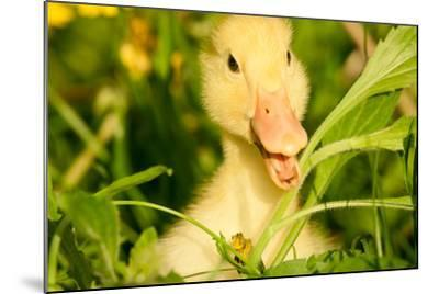 Small Yellow Duckling Outdoor On Green Grass-goinyk-Mounted Photographic Print