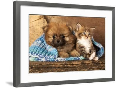 Spitz Puppy And Kitten Breeds Maine Coon, Cat And Dog-Lilun-Framed Photographic Print