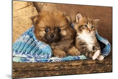 Spitz Puppy And Kitten Breeds Maine Coon, Cat And Dog-Lilun-Mounted Photographic Print